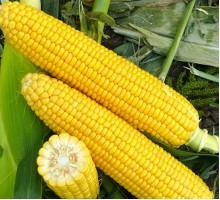 Семена Кукурузы — Сорт ХОНИ БЕНТАМ
