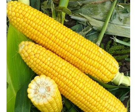 Семена Кукурузы — Сорт Хони Бентам F1