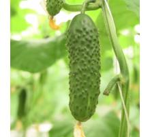 Семена Огурца — Сорт SV4097CV