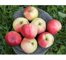 Саженец яблони (1-ый год) сорт Афродита