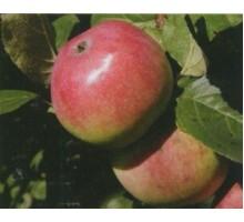 Саженец яблони (1-ый год) сорт Анис алый