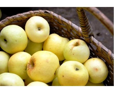 Саженец яблони (1-ый год) сорт Антоновка обыкновенная