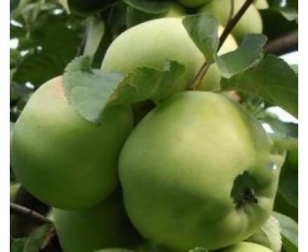 Саженец яблони (1-ый год) сорт Бабушкино