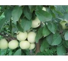 Саженец яблони (1-ый год) сорт Белый налив
